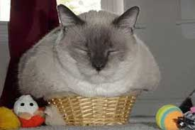 funny cat videos pictures of a large cat in a small basket